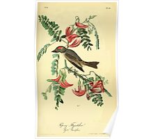 James Audubon Vector Rebuild - The Birds of America - From Drawings Made in the United States and Their Territories V 1-7 1840 - Pipiry Flycatcher Poster