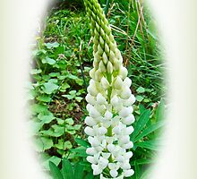 White Lupine Flowers by MotherNature