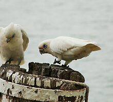 'WE'RE MAKING A GOOD HOLE! Pair of Corella's, Mannum. by Rita Blom