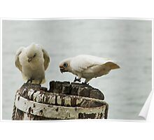 'WE'RE MAKING A GOOD HOLE! Pair of Corella's, Mannum. Poster