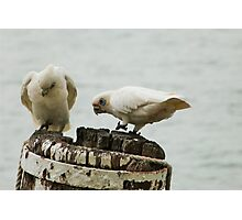 'WE'RE MAKING A GOOD HOLE! Pair of Corella's, Mannum. Photographic Print