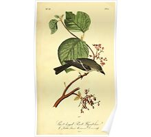 James Audubon Vector Rebuild - The Birds of America - From Drawings Made in the United States and Their Territories V 1-7 1840 - Short Legged Pewit Flycatcher Poster