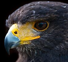 Portrait of a Harris Hawk by peterwey