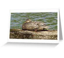 Sleeping Female Mallard Duck on the Concord River Greeting Card
