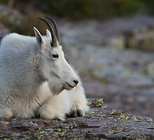 Mountain Goat Watching the Sunset by William C. Gladish