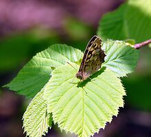 Speckled Wood by AngelaFoster