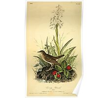 James Audubon Vector Rebuild - The Birds of America - From Drawings Made in the United States and Their Territories V 1-7 1840 - Tawny Thrush Poster