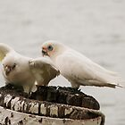'LOOK MY LEG GOES IN DEEPER NOW!' Pair of Corella's 'Mannum'. by Rita Blom