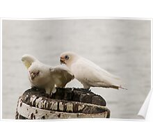 'LOOK MY LEG GOES IN DEEPER NOW!' Pair of Corella's 'Mannum'. Poster