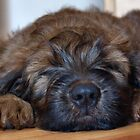 briard by Heike Nagel
