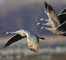Sandhill Cranes in Flight by William C. Gladish