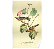 James Audubon Vector Rebuild - The Birds of America - From Drawings Made in the United States and Their Territories V 1-7 1840 - Bay Breasted Wood Warbler Poster
