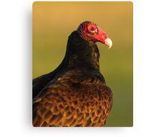 Turkey Vulture Portrait Canvas Print