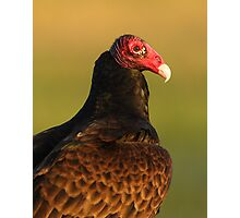 Turkey Vulture Portrait Photographic Print