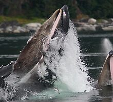 Humpback Whales Breaching by William C. Gladish