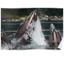 Humpback Whales Breaching Poster
