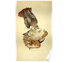 James Audubon Vector Rebuild - The Birds of America - From Drawings Made in the United States and Their Territories V 1-7 1840 - Red Breasted Buzzard Poster