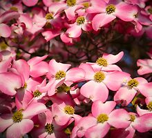 Welcome Spring - Pink Dogwood by noondaydesign