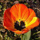 I tulip by Finbarr Reilly