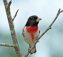 Rose-breasted Grosbeak Male by Bonnie T.  Barry