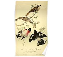 James Audubon Vector Rebuild - The Birds of America - From Drawings Made in the United States and Their Territories V 1-7 1840 - Rose Breasted Grosbeak Poster