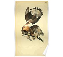 James Audubon Vector Rebuild - The Birds of America - From Drawings Made in the United States and Their Territories V 1-7 1840 - Caracara Eagle Poster