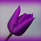 A Purple Tulip by Sandy Keeton
