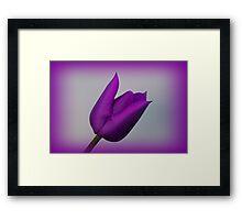 A Purple Tulip Framed Print