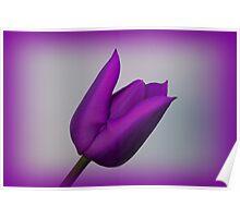 A Purple Tulip Poster