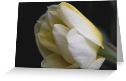 Narcissus Budding by mnkreations