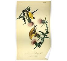 James Audubon Vector Rebuild - The Birds of America - From Drawings Made in the United States and Their Territories V 1-7 1840 - American Goldfinch Poster