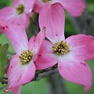 Dogwood by Lori Walton