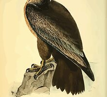 James Audubon Vector Rebuild - The Birds of America - From Drawings Made in the United States and Their Territories V 1-7 1840 - Washington Sea Eagle by wetdryvac