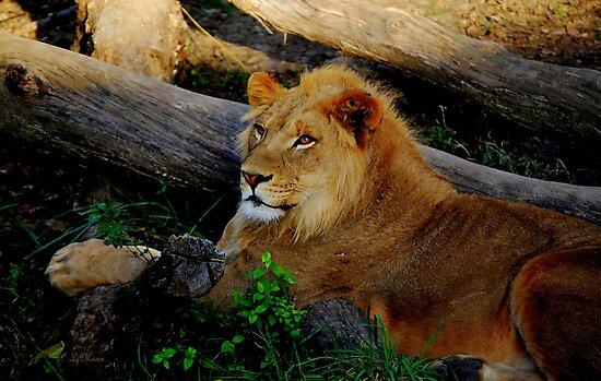African Lion by LjMaxx