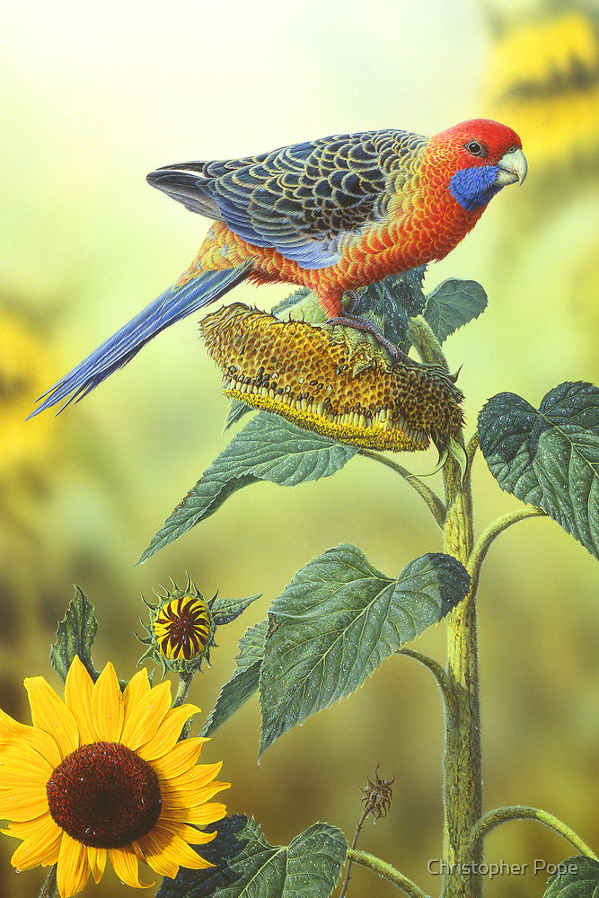 Adelaide Rosella by Christopher Pope