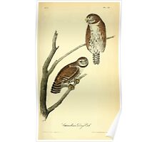 James Audubon Vector Rebuild - The Birds of America - From Drawings Made in the United States and Their Territories V 1-7 1840 - Columbian Day Owl Poster