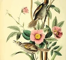 James Audubon Vector Rebuild - The Birds of America - From Drawings Made in the United States and Their Territories V 1-7 1840 - Sea Side Finch by wetdryvac