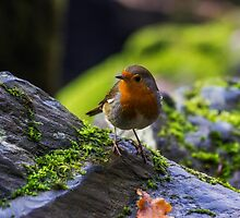 Winter Robin by Ian Mitchell