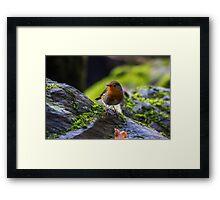 Winter Robin Framed Print