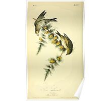 James Audubon Vector Rebuild - The Birds of America - From Drawings Made in the United States and Their Territories V 1-7 1840 - Pine Linnet Poster