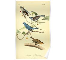 James Audubon Vector Rebuild - The Birds of America - From Drawings Made in the United States and Their Territories V 1-7 1840 - Indigo Bunting Poster