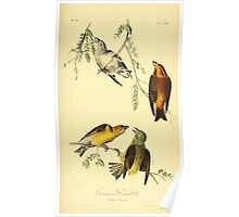 James Audubon Vector Rebuild - The Birds of America - From Drawings Made in the United States and Their Territories V 1-7 1840 - Common Crossbill Poster