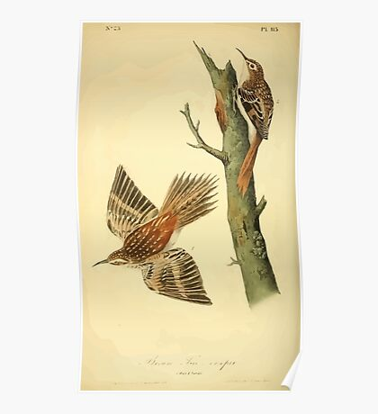 James Audubon Vector Rebuild - The Birds of America - From Drawings Made in the United States and Their Territories V 1-7 1840 - Brown Tree Creeper Poster