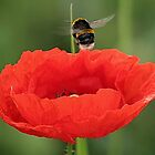 Poppy and the Bee, England by AnnDixon