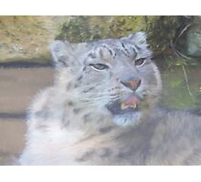 Snow Leopard Portrait (Photo Cezanne Style) Photographic Print