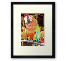 Harlequin Macaw On A Perch Framed Print