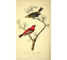 James Audubon Vector Rebuild - The Birds of America - From Drawings Made in the United States and Their Territories V 1-7 1840 - Common Pine Finch Photographic Print