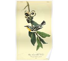 James Audubon Vector Rebuild - The Birds of America - From Drawings Made in the United States and Their Territories V 1-7 1840 - Yellow Throated Wood Warbler Poster
