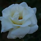 My Perfect White Rose by Elaine Teague