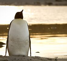 Penguin at sunset by AndyCh